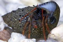 Do Hermit Crabs Shed Their Legs by Saltwater Aquarium Crabs Ocean Crabs Marine Aquarium Crabs