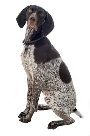 german shorthaired pointer shed german shorthaired pointer