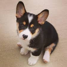 "Tri Color Corgi Puppy Moose the Corgi Instagram ""Thank you"
