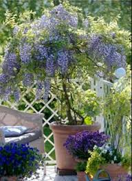 planting wisteria in a pot my wisteria arbor it is about 4 yrs my husband built the