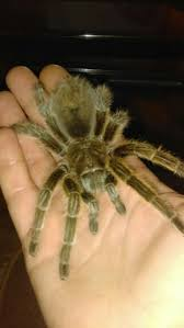 Do Tarantulas Shed Their Fangs by 45 Best Help I Have Arachnophobia Images On Pinterest Animals