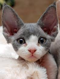 hairless cat price best 25 rex cats ideas on rex kittens