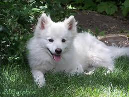 Toy American Eskimo Dog Shedding by American Eskimo Dog Breed Guide Learn About The American Eskimo Dog