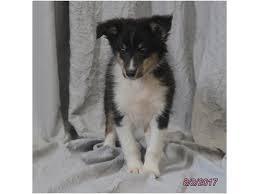 Sheltie Shedding Puppy Coat by Shetland Sheepdog Petland Pensacola