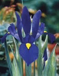 iris bulbs for sale garden flowers