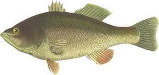Perch Largemouth Bass Fish Black Sea