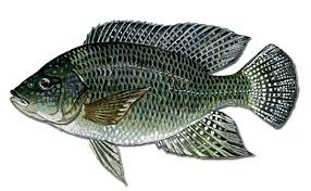 Blue Tilapia Oreochromis Aureus Is Also Known As Israeli It An Appreciate Food Fish And A Common Species In Aquacultures Worldwide