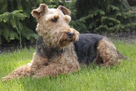 Do Airedale Puppies Shed by Are Airedale Terriers Hypoallergenic And Do Airedale Terriers Shed