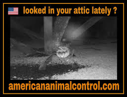 Knock Three Times On The Ceiling by Hearing Animal Noises In The Attic American Animal Control