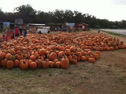 Pumpkin Patch Bastrop County by The Best Pumpkin Patches In And Around Austin Sweet Berry Farm