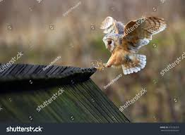 Barn Owl Tyto Alba Bird Landing Stock Photo 375135223 - Shutterstock Barn Owl Landing Spread Wings On Stock Photo 240014470 Shutterstock Barn Owl Landing On A Post Royalty Free Image Wikipedia A New Kind Of Pest Control The Green Guide Fence Photo Wp11543 Wp11541 Flight Sequence Getty Images Imageoftheday By Subject Photographs Owls Kaln European Eagle Coming Into Land Pinterest Pictures And Bird