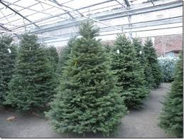 Types Of Cut Christmas Trees
