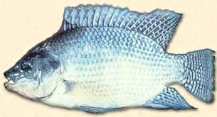 Encyclopedian Dictionary Aquaculture Tilapia Culture