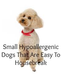 Non Shedding Small Dog Breeds List by Small Hypoallergenic Dogs That Are Easy To Housebreak Small