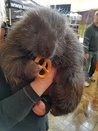 Porcupine Eats Pumpkin by This Is A Porcupine Eating A Pretzel You U0027re Welcome Rebrn Com