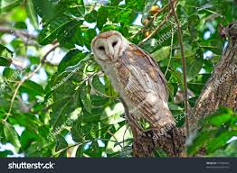 Barn Owl Sitting On Tree Venezuela Stock Photo 77669470 - Shutterstock Barn Owl Perching On A Tree Stump Facing Forward Stock Photo The Owls Of Australia Australian Geographic Audubon Field Guide Beautiful Perched 275234486 Barred Owl Vs Barn Hollybeth Organics Luxury Skin Care Why You Want Buddies Coast News Group Sleeping By Day Picture And Sitting Venezuela 77669470 Shutterstock Rescue Building Awareness Providing Escapes And Photography Owls Owlets At Charlecote Park Barnaby The Ohio Wildlife Center