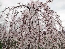 Prunus Subhirtella Snofozam Weeping Snow Fountain Cherry Height 6 12 Cold Hardy To Zone 4 Full Sun