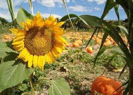 Mission Valley Pumpkin Patch by San Diego And Imperial Counties In California Pumpkin Patches