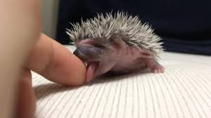 Porcupine Eating A Pumpkin Youtube by Tiny Baby Hedgehog Tries To Mouth A Human U0027s Finger