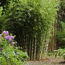 entretien des bambous en pot fargesia robusta bambou cespiteux non traçant pour haie achat