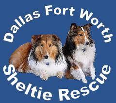 Sheltie Shedding Puppy Coat by Dallas Ft Worth Sheltie Rescue Adopting Info