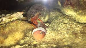 Halloween Hermit Crab Molting by Hermit Crab Eating Clown Fish Close Up Youtube