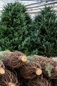 Fraser Fir Christmas Trees Uk by Santa Fir Christmas Tree Farm Guildford Surrey Sussex London