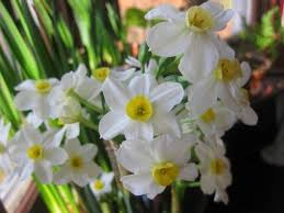 best 25 narcissus bulbs ideas on narcissus plant