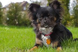 100 Where Is Chihuahua Located A Small Black Longhaired Is Located In The Meadow