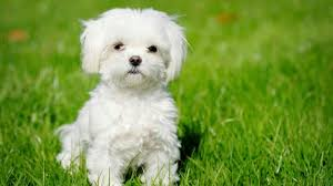 Top 10 Dogs That Dont Shed by 10 Most Popular Dog Breeds In Singapore Kohepets Blog
