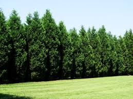 Leyland Cypress Christmas Tree Growers by Leyland Cypress Trees For Sale Free Shipping Over 125