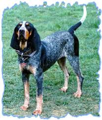 Do Bluetick Coonhounds Shed by Basset Hound Blue Tick Hound Mix Love The Coloring