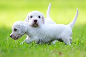 english setter dog breed information pictures characteristics