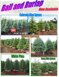 Christmas Tree Seedlings Wholesale by Home Sand Country Christmas Trees Clear Lake Mn