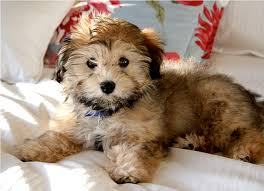 Hypoallergenic Dog Breeds That Dont Shed by 28 Do Hypoallergenic Dogs Shed As Puppies Hypo Allergenic
