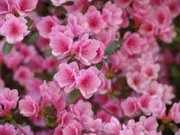 azalée japonaise kirin rhododendron kirin