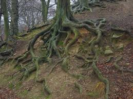 Beautiful Trees With Roots Tree By Paulinemoss