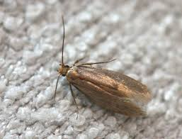 Clothes Moths in the Fur Closet Prevention Better than Cure