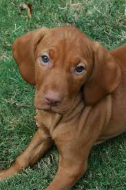 Vizsla Dog Breed Shedding by Vizsla Shorthaired Breed Information History Health Pictures