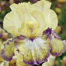 buy yellow bearded iris bulbs its magic iris bulbs in cheap