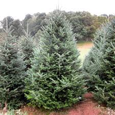 Fraser Fir Christmas Trees North Carolina by Buy Fraser Fir Christmas Trees At The Garden Gates
