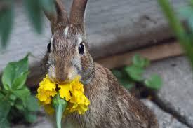 Can Bunny Rabbits Eat Pumpkin Seeds by Skippy U0027s Vegetable Garden Rabbit Eats Marigold