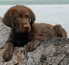 Chesapeake Bay Retriever Molting by Chesapeake Bay Retriever Dog Breed Information And Images K9rl