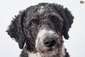 Dogs That Dont Shed Too Much by Spanish Water Dog Dog Breed Information Buying Advice Photos And