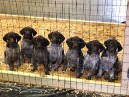 german shorthaired pointer shed river rein kennels german shorthaired pointer breeders bird