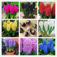 true hyacinth bulb hyacinth flower bonsai flower bulbs so fragrant