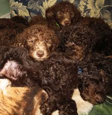 Do F1 Aussiedoodles Shed by F1b Labradoodle Puppies For Sale In Washington U2013 Summer 2014
