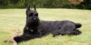 Do Giant Schnauzer Dogs Shed Hair by Giant Schnauzer Information Characteristics Facts Names