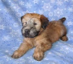 Do Irish Wheaten Terriers Shed by Riley A Soft Coated Wheaten Terrier Puppy Youtube