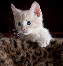 kitty cat free photo kitty cat kitten pet animal free image on